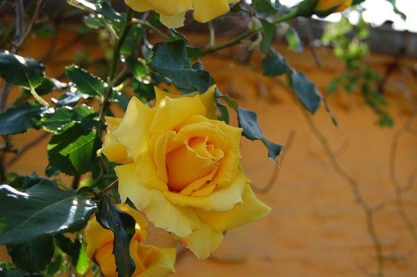 rosier jaune grimpant DSC 0616