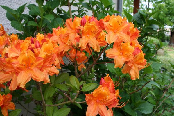 Rhododendron 'Glowing Ember' 6975 redimensionner