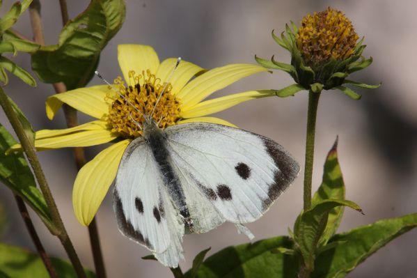 papillons3276