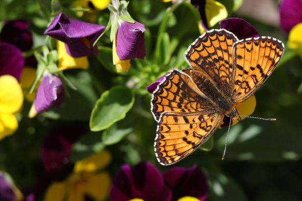 papillons4417