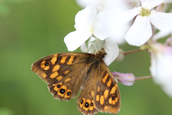 araignee papillon