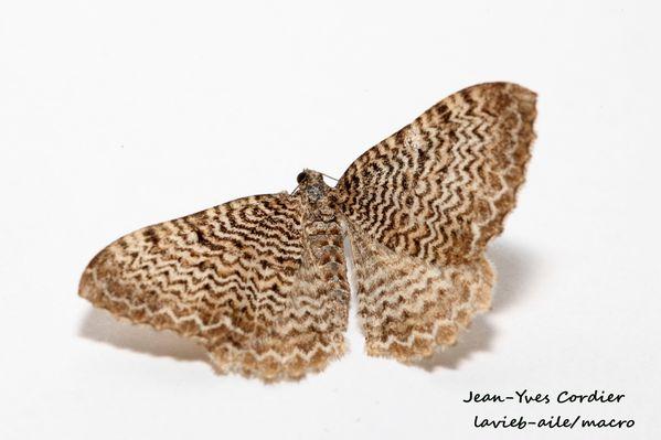 rheumaptera-undulata 7398cc