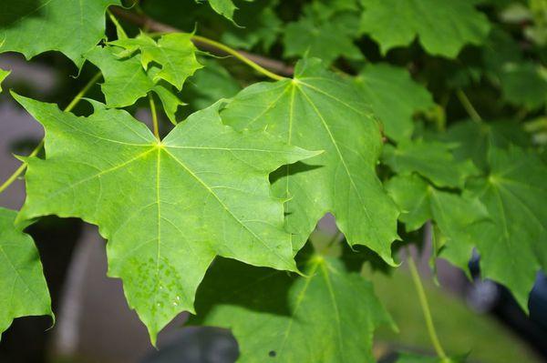 Erable plane feuilles 3