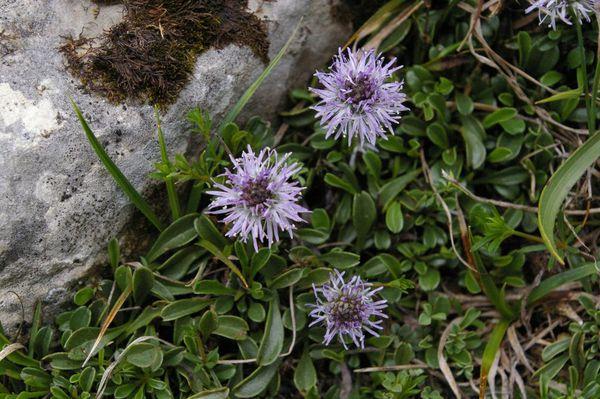 Glob cordifolia