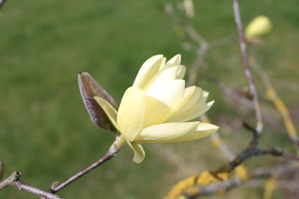 magnolia--gold-star-.jpg