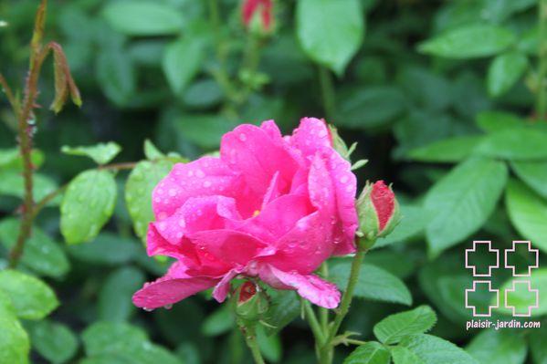 Les rosiers galliques (rosiers de France).