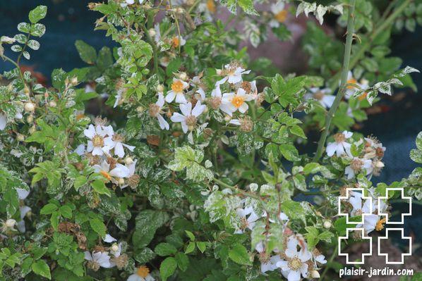 Rosa-foliis-variegata-pj.jpg