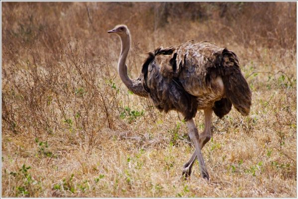 la faune de tarangire