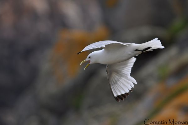 Mouette tridactyle11