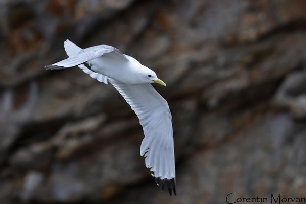 Mouette tridactyle2