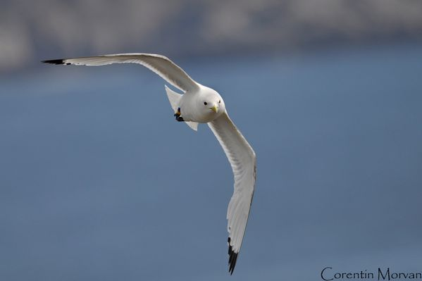 Mouette tridactyle9