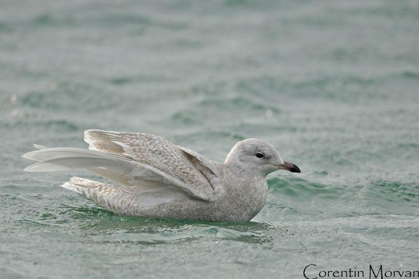 Goéland-à-ailes-blanches5-8
