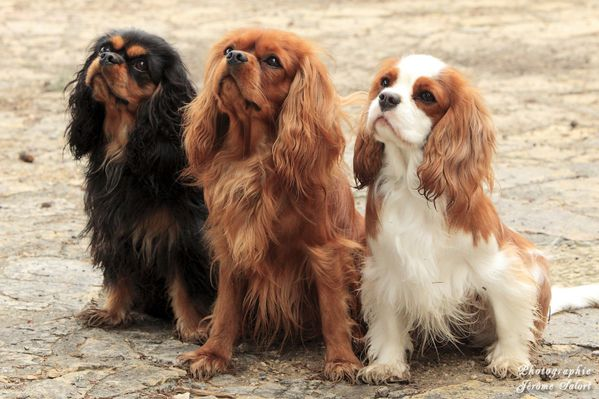 Cavaliers King Charles & Co. 2012