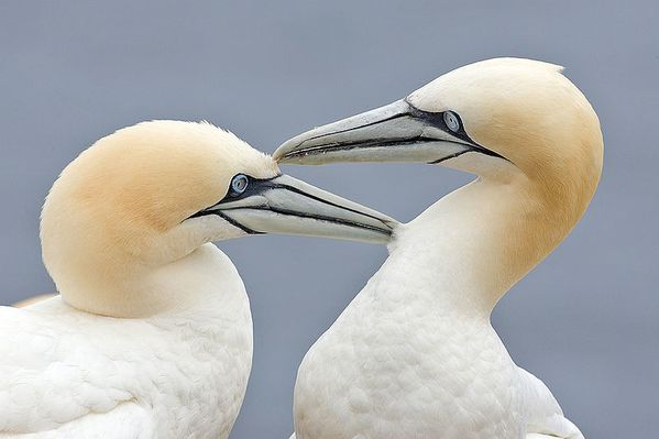 800px-Two_Gannets_edit_2.JPG