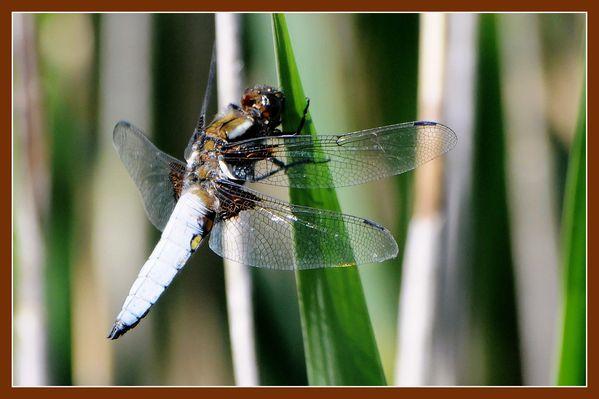 La Brenne.Insectes.A Bauché.JP (4)