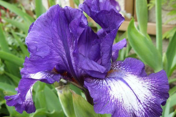 iris-de-bordure-star-woman---mai-2013.jpg
