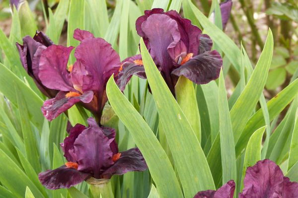 iris de rocaille mini dragon - mai 2013