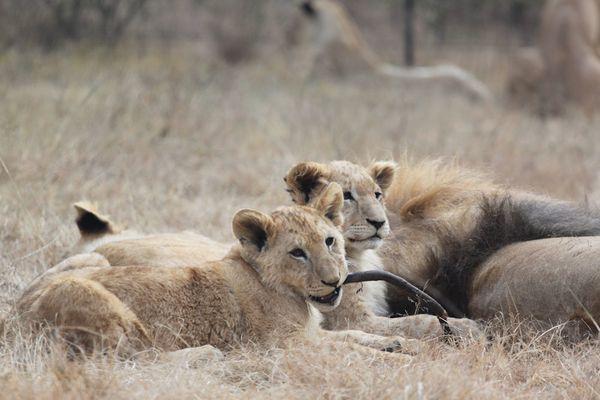 Lion-Park 2938
