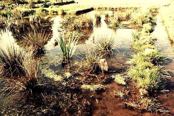 Juin 85 Les plantes de l'Etang2