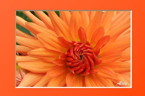 Dalhia-orangeAlice.jpg