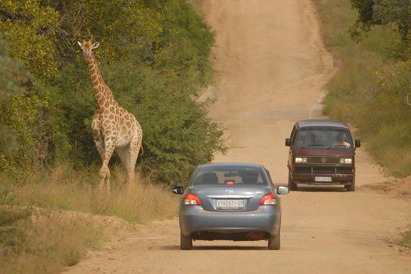 Giraffe ambiance RSA Kruger 080510 DSC 2206 web