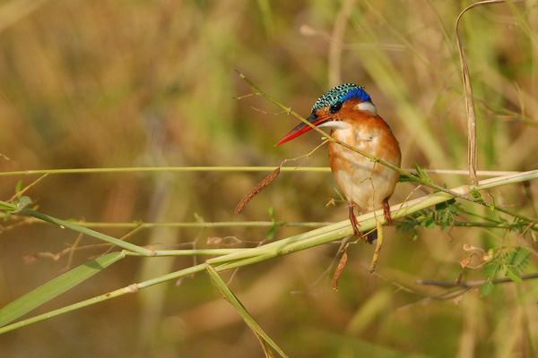 Malachite Kingfisher RSA Kruger 080510 DSC 2286 web