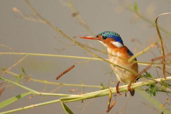 Malachite Kingfisher RSA Kruger 080510 DSC 2301 web