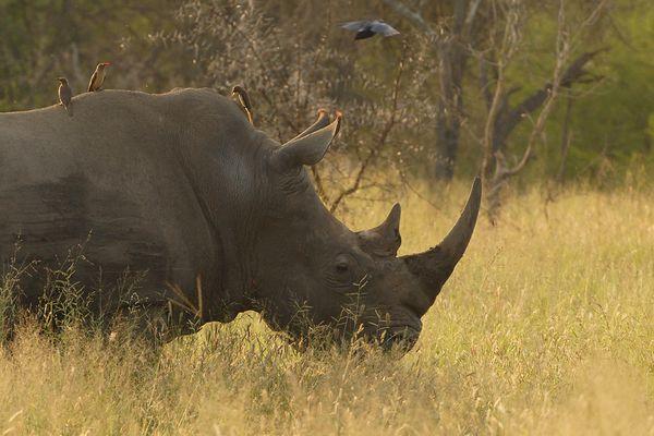 Rhino noir RSA Kruger 080510 DSC 2386 web