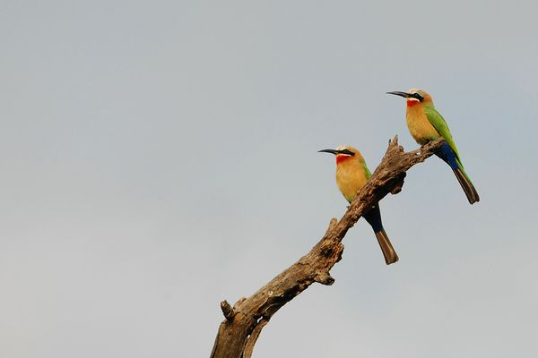 White fronted Bee eater RSA Kruger 080510 DSC 1653 web
