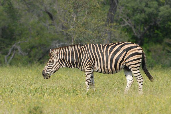 Zebre RSA Kruger 080510 DSC 1803 web
