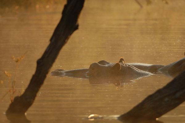 Hippo RSA Kruger 090510 DSC 2523 web