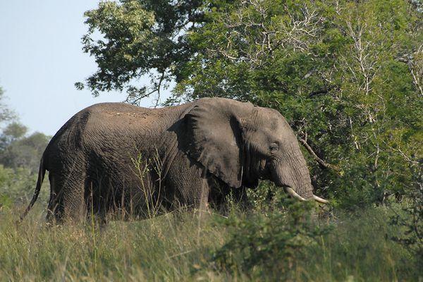 Elephant RSA Kruger 070510 DSC 1282 web