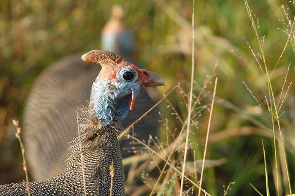 Helmeted Guineafowl RSA Kruger 070510 DSC 0702 web