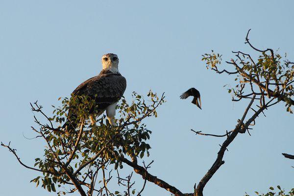Martial Eagle Kruger 060510 DSC 0438 web