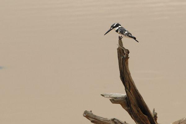 Pied Kingfisher RSA Kruger 070510 DSC 1404 web