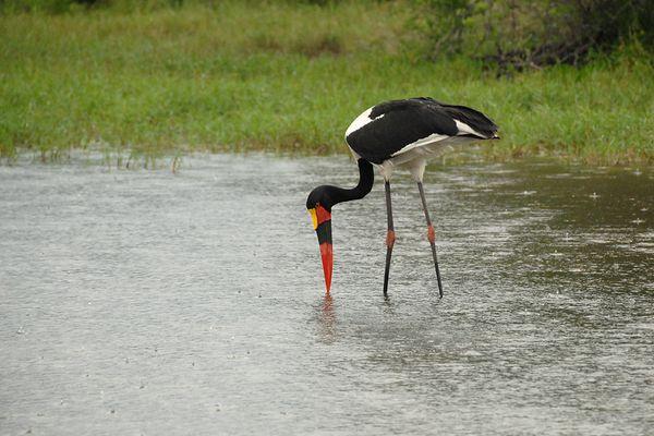 Saddle billed Stork RSA Kruger 070510 DSC 1464 web