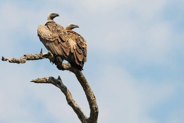 White backed Vulture RSA Kruger 070510 DSC 1036 web