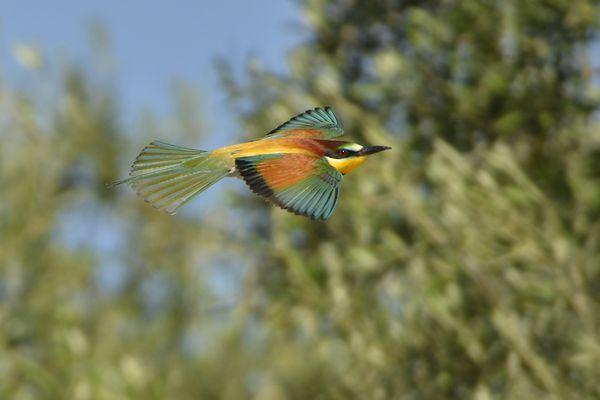 Guepier Andalousie mai 2011 DSC1399 web