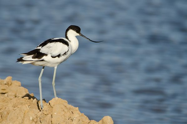 Avocette Portugal 0811 DSC8222