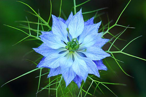 La-fleur-bleue-a25761282.jpg