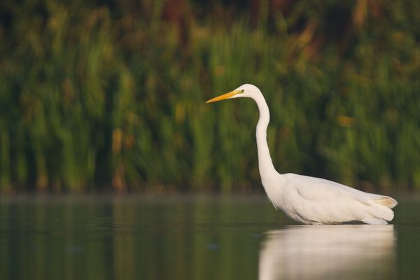 Grand aigrette, octobre 2011 mail-1854