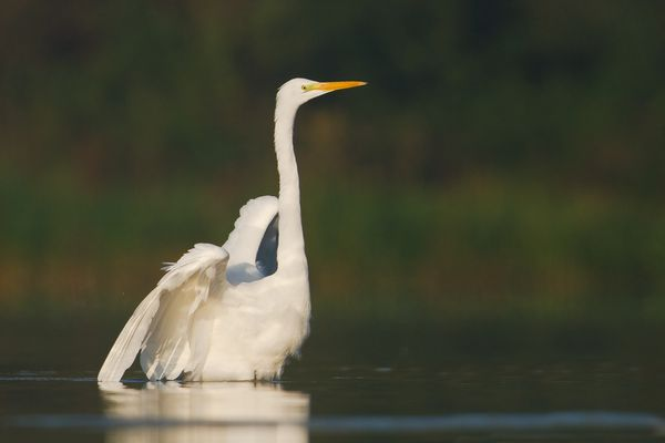 Grand aigrette, octobre 2011 mail-2-2