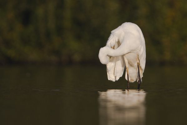 Grand aigrette, octobre 2011 mail-2079