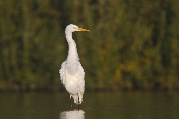 Grand aigrette, octobre 2011 mail-2082