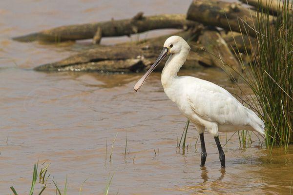 Spatule blanche, le Teich, avril 2011 mail-1784