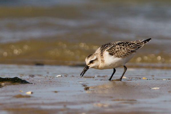 Bécasseau sanderling, dunkerque septembre 2012 mail-7284