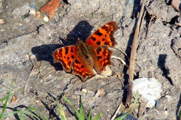 HG1 Papillon, Plessis Bouchard