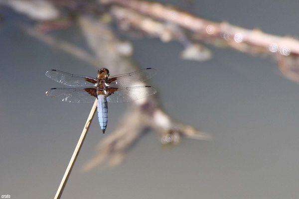 20juin2011-grenouilles- libellules 059a