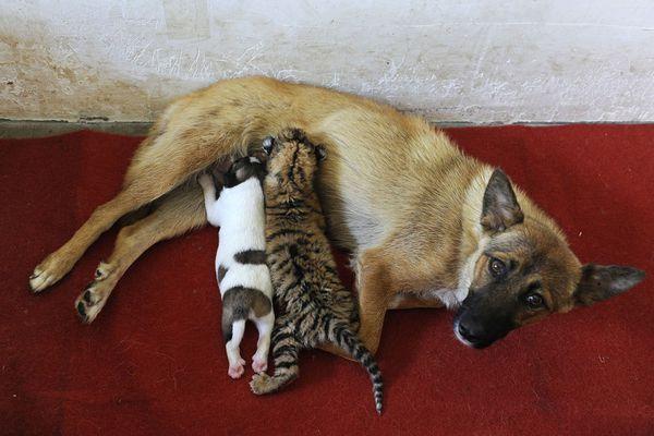 sem13jull-Z1-chienne-nourrit-bebe-tigre-zoo-Hefei-Chine.jpg