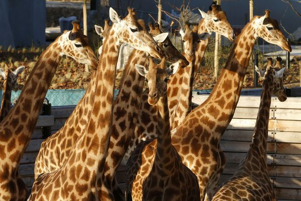 sem13deck-Z6-girafes-nouveau-Zoo-de-Vincennes-Paris.jpg